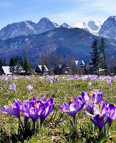 Zakopane crocuses and Mt Giewont