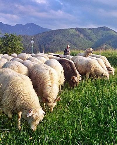 Zakopane flock of sheep